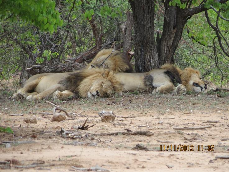 Lions near Letaba