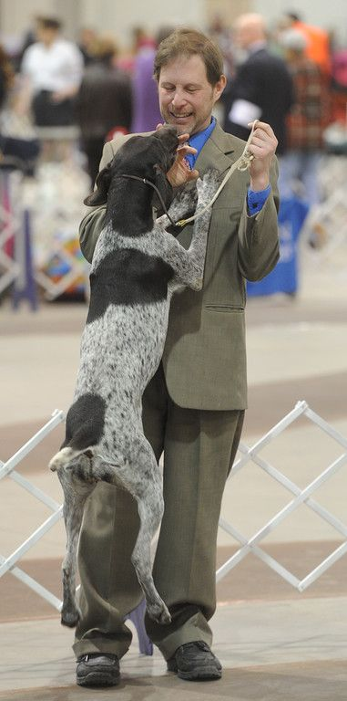 Description of . Handler Aaron Goldfinger tries to contain the joy of Miranda, a German shorthaired pointer, before she competes in the Celtic Class Dog Show in the Utz Arena of the York Expo Center on Friday, March 13, 2015.  Jason Plotkin - Daily Record/Sunday News