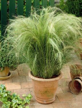 Le stipa tenuifolia est rustique et résiste au températures allant jusqu'à -10° Les cheveux d'anges préfèrent les sols pauvres que trop riches Multiplication par division de la touffe à l'automne.  En savoir plus sur http://www.jardiner-malin.fr/fiche/stipa-tenuifolia-les-cheveux-dange.html#Mbw6r2pb2MyqfOlT.99