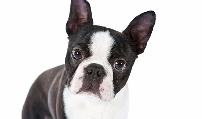 Everything you want to know about Boston Terriers including grooming, training, health problems, history, adoption, finding good breeder and more.