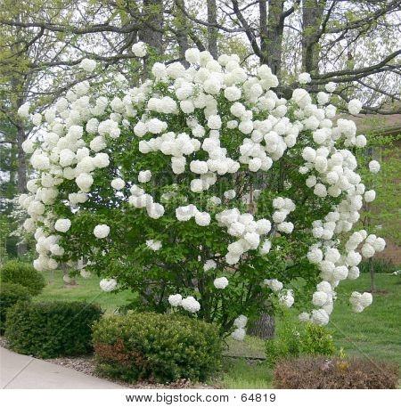 Snowball Bush My Grandma Has These In Her Backyard And I