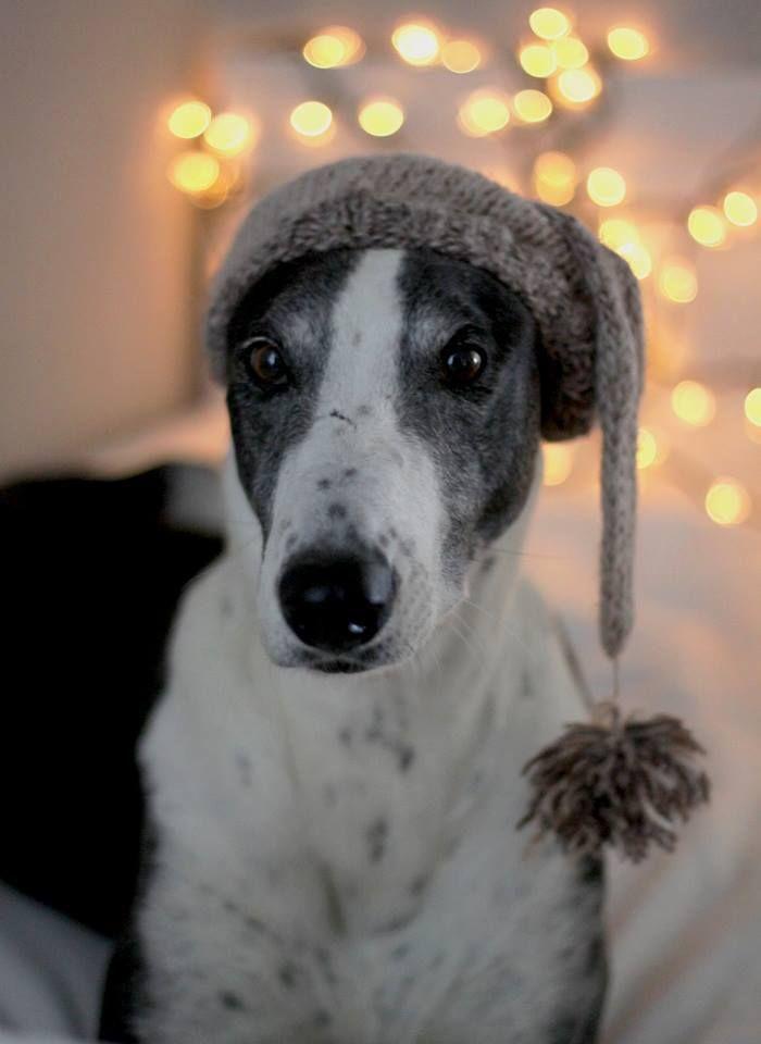 Hungarian Greyhound-Borka