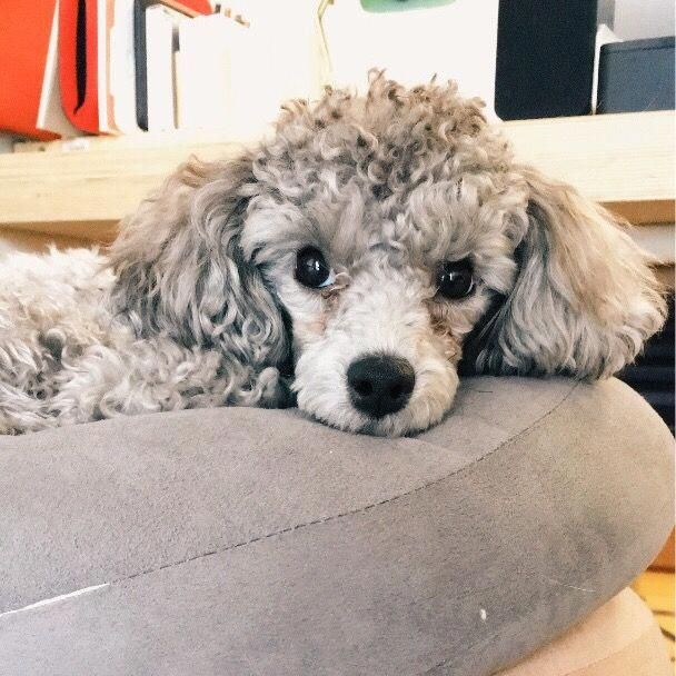 Pin By Kimberly Buhr On Pets In 2020 Toy Poodle Poodle Puppy