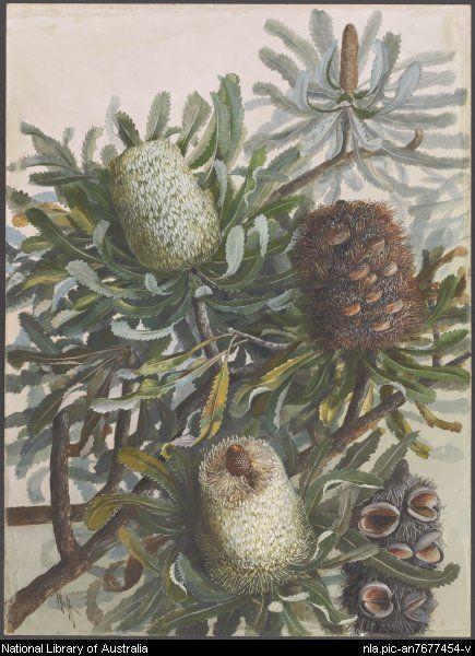 Rowan, Ellis, 1848-1922. [Banksia serrata] [picture]