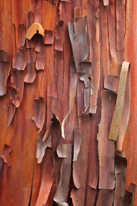 The peeling bark of an Arbutus evergreen tree - Pacific Northwest.