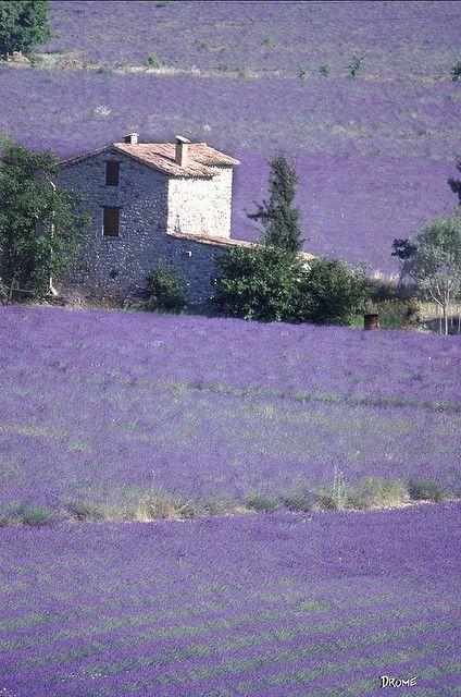 France / Rhone-Alpes / Ste.-Jalle. Lavender fields by giuseppedr