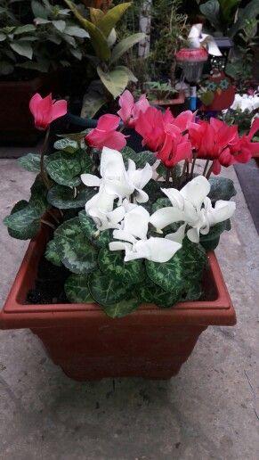 1000 images about mis plantas on pinterest no se norte for Arboles que no se le caen las hojas en invierno