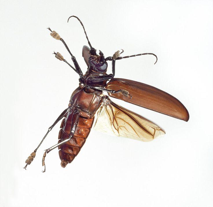 世上已知最大的甲蟲,巨天牛(©倫敦自然歷史博物館)