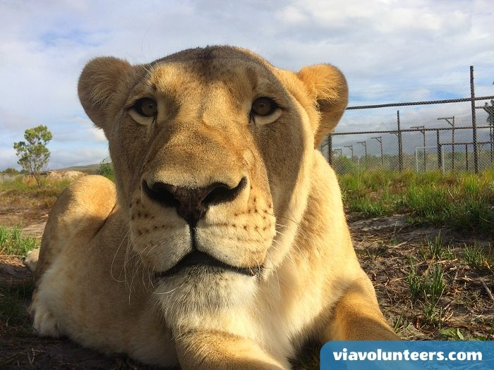 Volunteer abroad  with Via Volunteers in your Gap Year and join a dedicated team at this ethical and environmentally friendly sanctuary for captive bred predators which include lions, tigers and leopards. https://www.viavolunteers.com/volunteer-south-africa-big-cat-lions-tigers-leopards-sanctuary