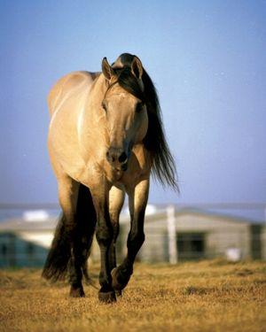 Hollywood Dun It- beautiful representation of the american quarter horse ;)