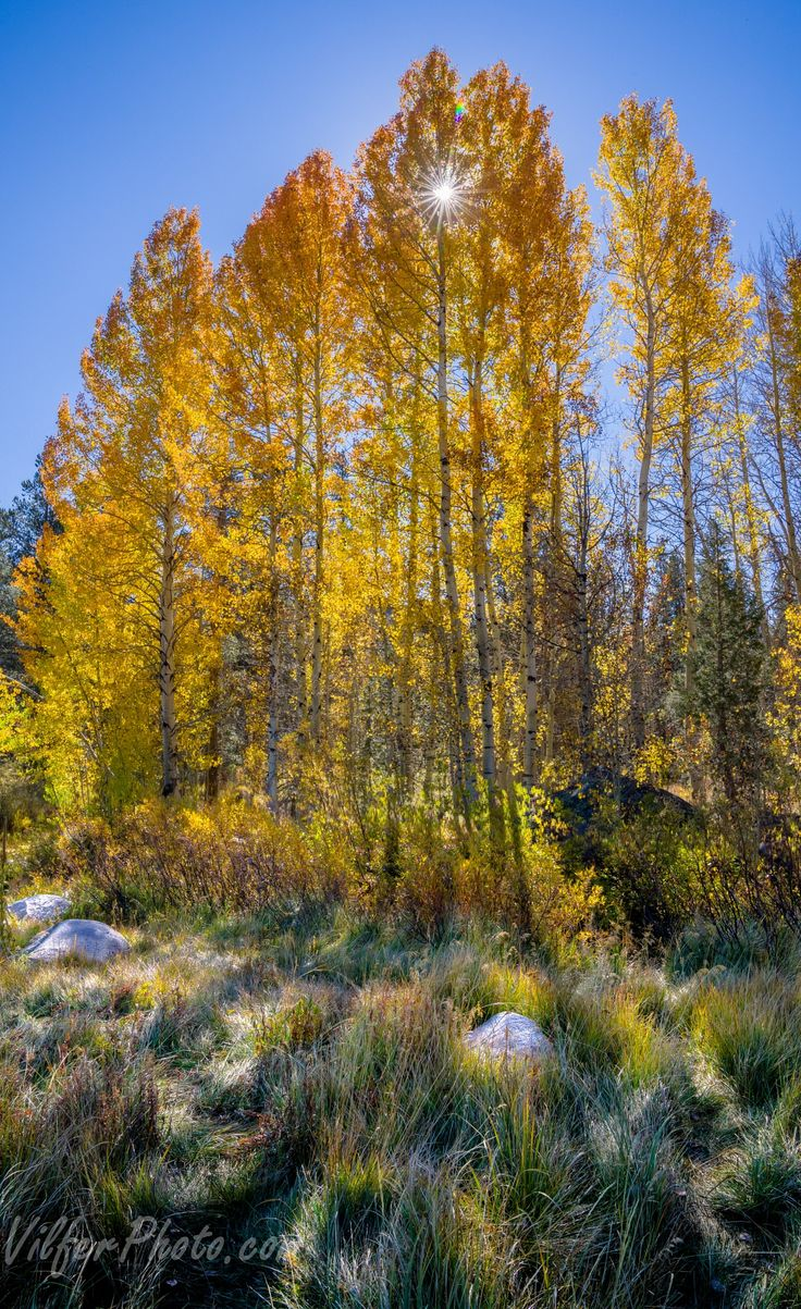 Hope Valley Gold - A small grove of aspens in Hope Valley near Tahoe.