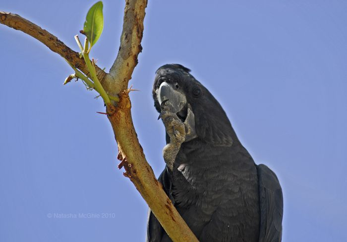 Typical Black Cockatoo by TypicalTash