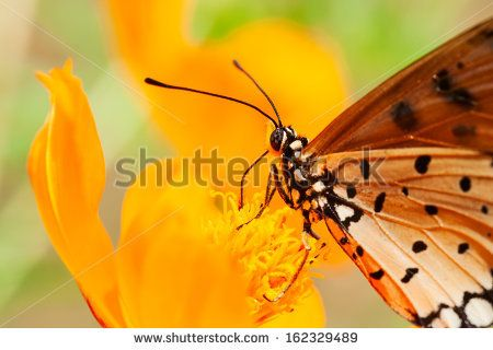 Orange butterfly is sucking nectar on orange flower. - stock photo