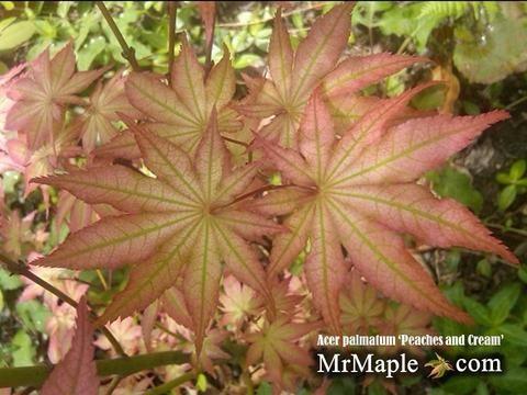 Acer palmatum 'Peaches and Cream' Japanese Maple