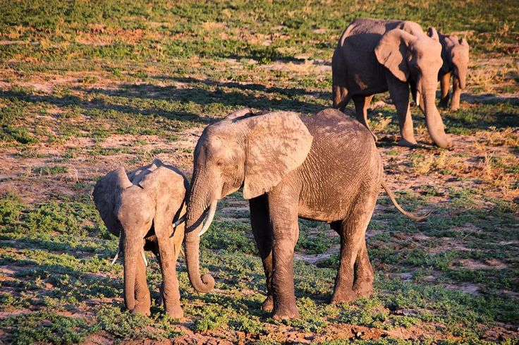 These lovely elephants were roaming on the plain os South Luangwa National Park in Zambia. The sun had already started to set so it provided a nice soft light to capture these beautiful creatures.