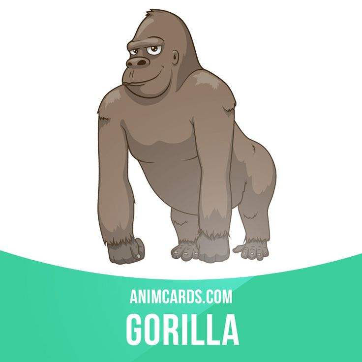 Gorillas are the world's largest primates. They are closely related to humans, with 98% of their DNA identical to that of Homo sapiens.  #english #englishlanguage #learnenglish #studyenglish #language #vocabulary #dictionary #englishlearning #vocab #animals #gorillas #gorilla #apes