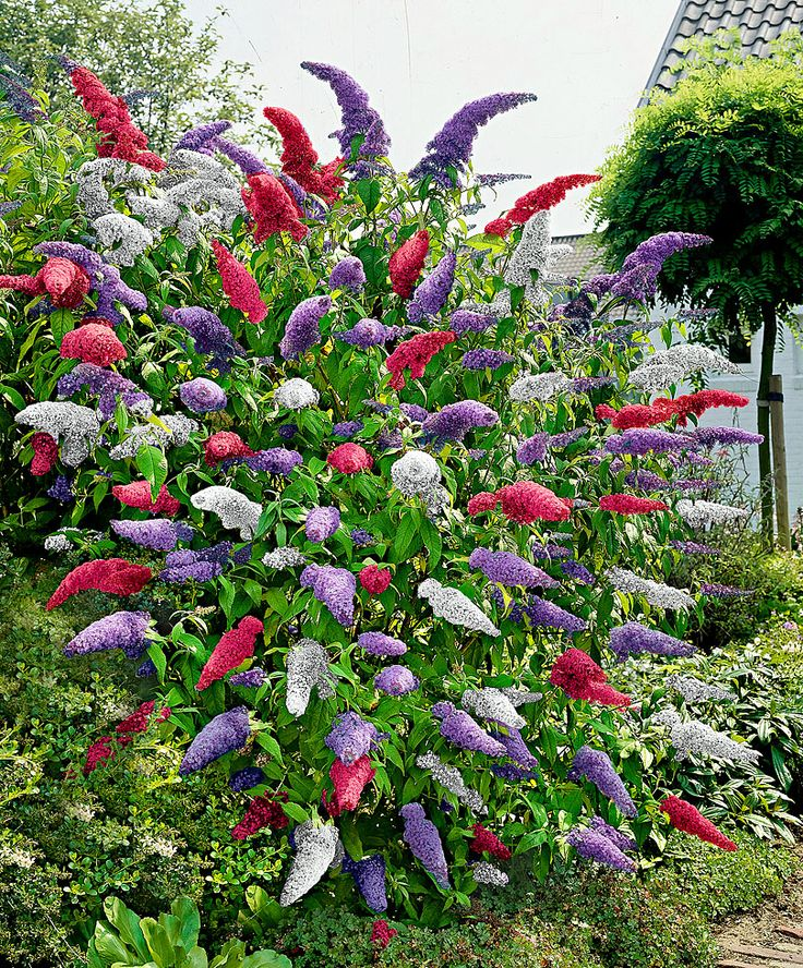 Buddleia (Butterfly Bush) - Mixed | Trees and Shrubs from Bakker Spalding Garden Company