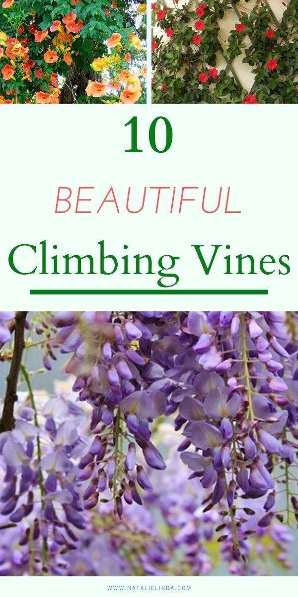 10 Beautiful Climbing Vines For Your Yard Looking For Climbing Vines That Produce Flower Blooms And B In 2020 Climbing Flowers Climbing Flowering Vines Climbing Vines