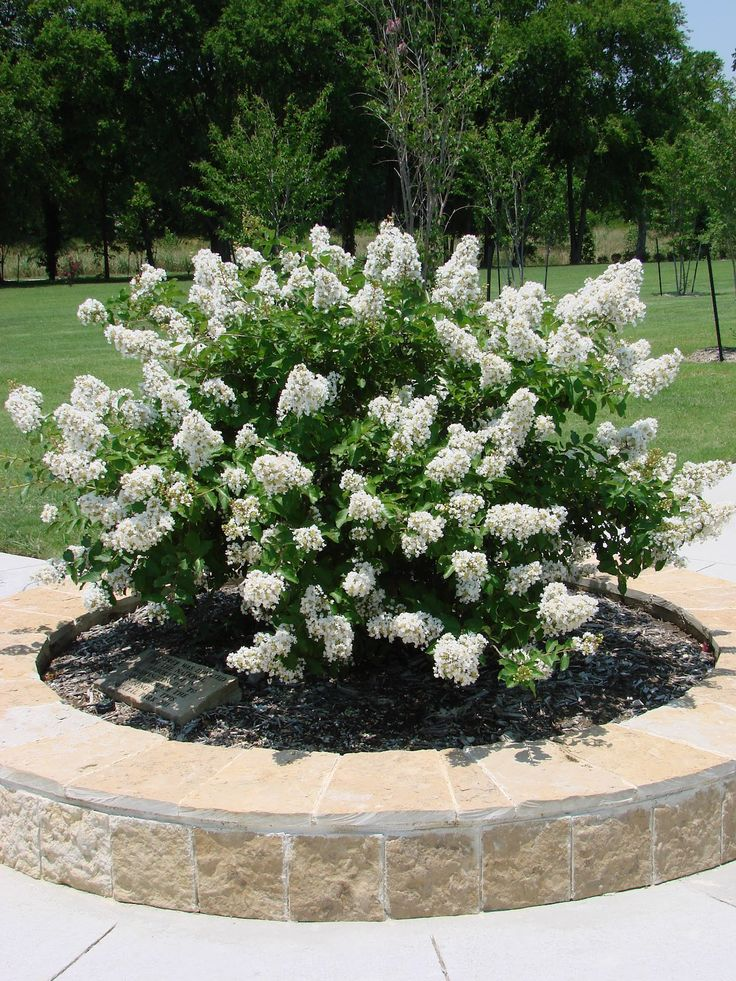 20 best images about my crepe myrtle on pinterest for Flowering dwarf trees for landscaping