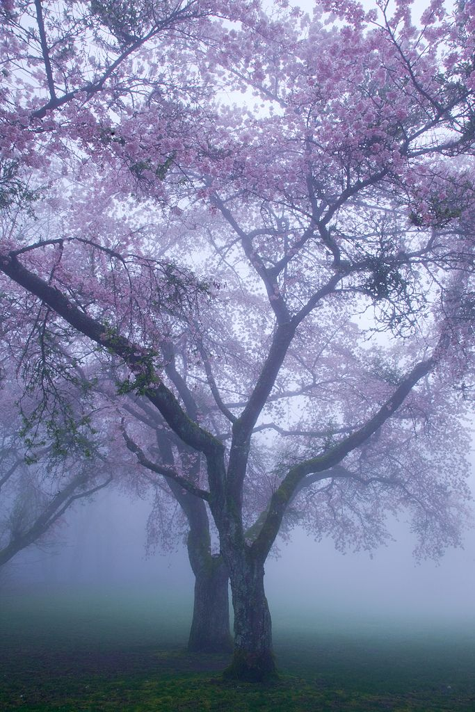 Blossoms in the mist / Vancouver, Canada.