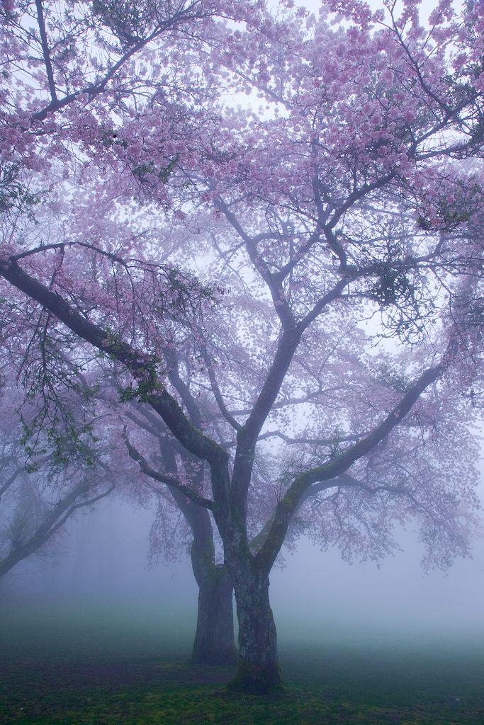 夢中の桜 / Sakura in a Mist by Shohei Katsuki