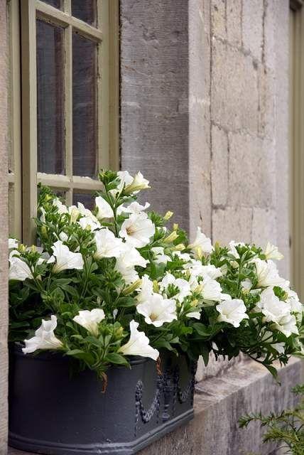 petunia en bord de fenêtre