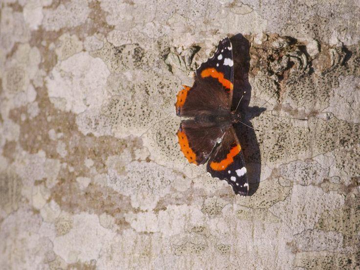 Hjälp till att rapportera fynd av amiralfjärilar | Natursidan