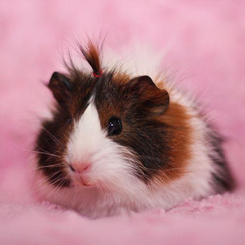 little guinea pig girl