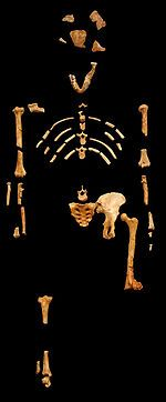 Africa - Lucy an Australopithecus afarensis skeleton discovered 1974 in Ethiopia