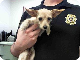 Maricopa County ACC- West Shelter--- A3952747 a Chihuahua/Cairn Terrier Mix for adoption in Phoenix, AZ who needs a loving home.