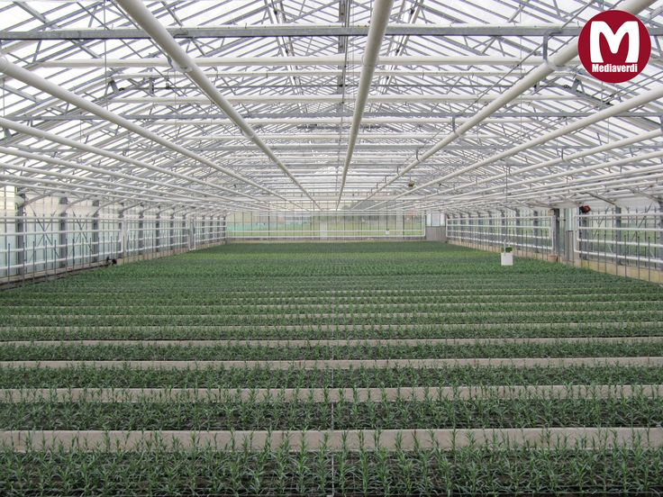 Anjer-stekken net gepoot in de kas / Carnation cuttings just planted in the greenhouse