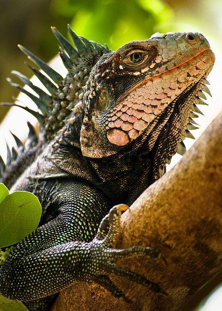"theanimaleffect:  one ""badass"" iguana by Sam Scholes on Flickr."
