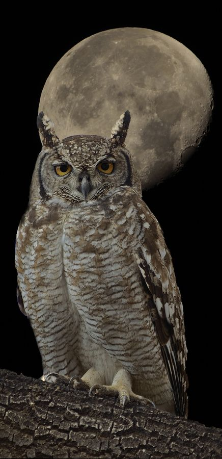 It must be owl mating season.  The owls in my woods have been hooting way more than usual!  I do love to hear them.