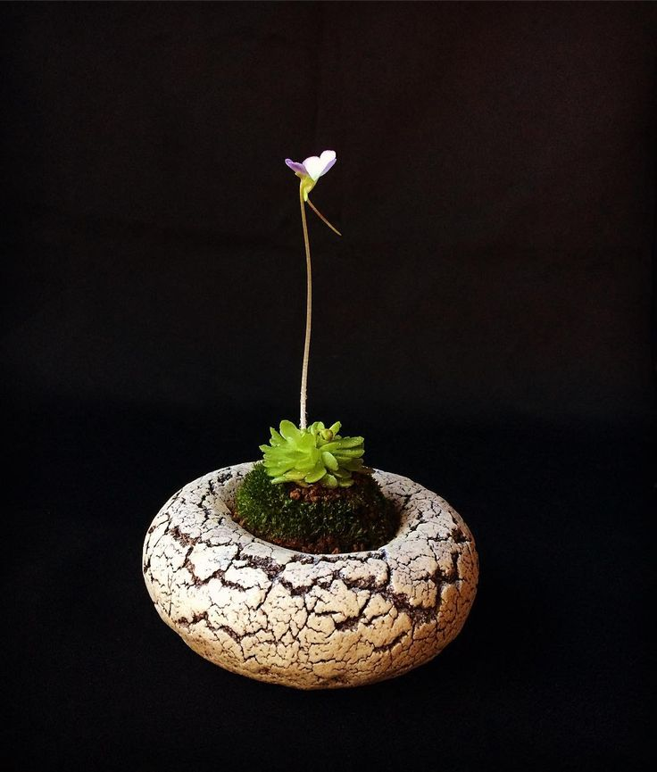 #ムシトリスミレ #食虫植物