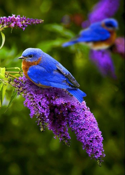 bluebird - I have two couples nesting in my BB houses.  They are very busy this morning.Bluebirds, Butterfly Bush, Nature, Little Birds, Purple Flowers, Vibrant Colors, Butterflies Bush, Pretty Birds, Beautiful Birds