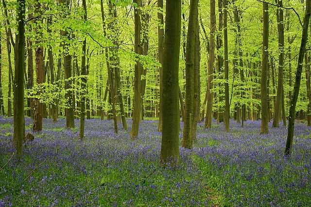 Image result for beech tree copse with blue bells