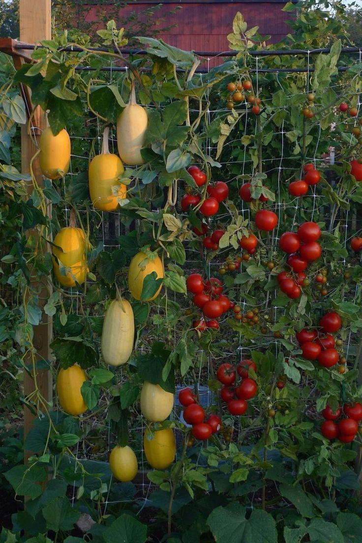 Vertical garden - spaghetti squash.                                                                                                                                                                                 More