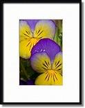 Purple and Gold Flowers Art Prints by Liz SchneiderPotato Vines, Large Planters, Flower Art, Art Prints, Planters Filling, Gold Flower, Liz Schneider, Potatoes Vines, Anniversaries Parties