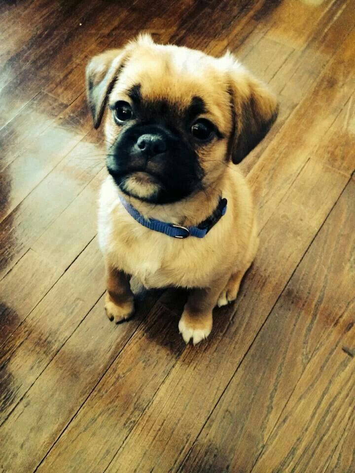 Sweetest face ever... Pug shih tzu mix.  This baby looks just like my Emma.