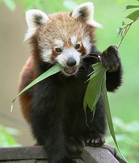 Favori 1066 best Ayı / Panda ( Bears ) images on Pinterest   Grizzly  OH52
