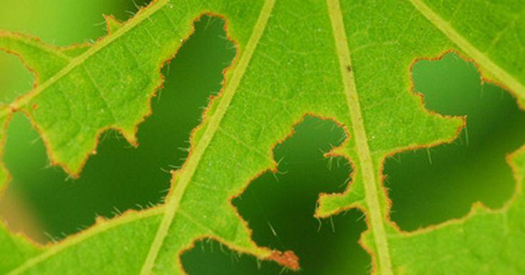 """Información sobre el gusano medidor. Si bien muchas variedades de gusanos medidores reciben el nombre de """"orugas"""", el término """"gusano medidor"""" aplica a la larva de la familia de las polillas Geometridae, la cual, de acuerdo a Ask the Exterminator, contiene hasta 35.000 especies. La Enciclopedia Columbia describe a los gusanos medidores como criaturas negras, café o verdes, que a ..."""