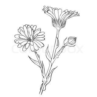 Hand drawn flowers - Calendula officinalis or pot marigold