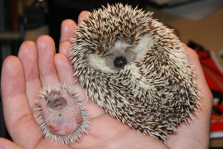 Two hedgehogs side by side in a human hand. So cute! One is still a baby, sporting newly grown spikes, while the other is larger.