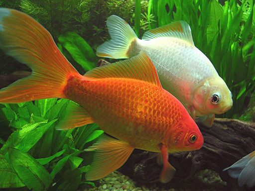 Cuidados de peces de agua fría en verano