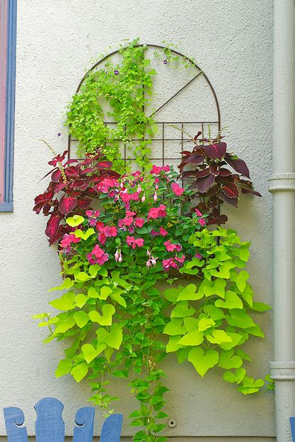 A north-facing wall is softened by this hanging planter of pink impatiens and fuchsias flanked by 'Kingswood Torch' coleus.Asarina (climbing snapdragon)adds height, while 'Margarita' sweet potato vines trail gracefully over the side.