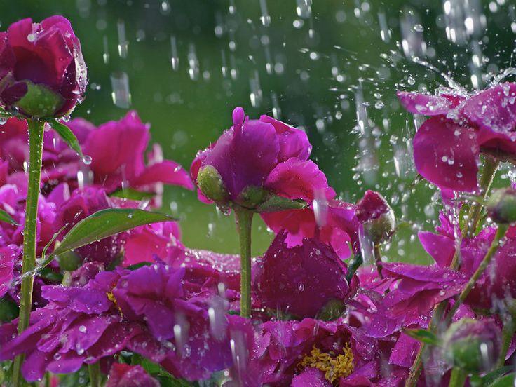 Déšť nad fialové květiny, jarní tanec pro PURPLE HAZE vektor