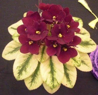 Variegated African Violet: Saintpaulia 'Jolly Jubilee' [Family: Gesnariaceae]