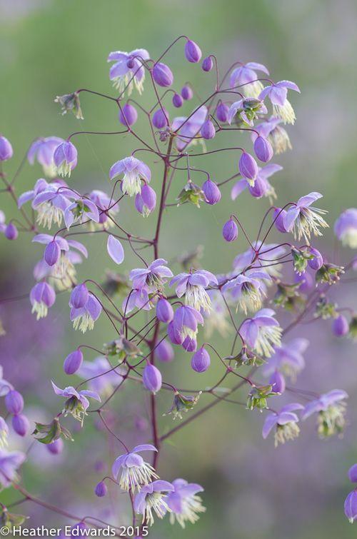 Purple beauty - HTE60912 (Thalictrum delavayi)