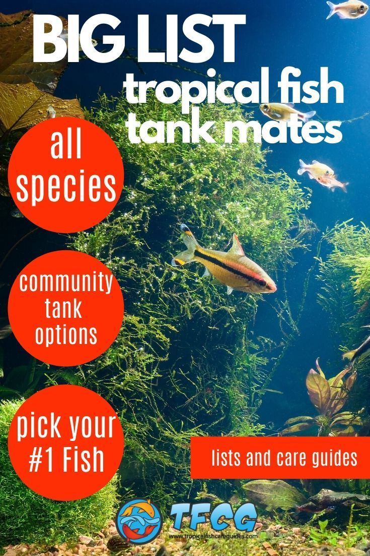 Tank Mates Big List Of Compatible Fish For Your Community Aquariums In 2020 Community Fish Tank Tropical Freshwater Fish Tropical Fish Tanks