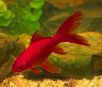 The comet goldfish can be distinguished from the common goldfish by its long, single and deeply forked tail fin. Under optimum conditions, the tails can grow up to 12 inches in length.  The red coloration mainly appears on the tailfin and dorsal fin, but can also appear on the pelvic fin